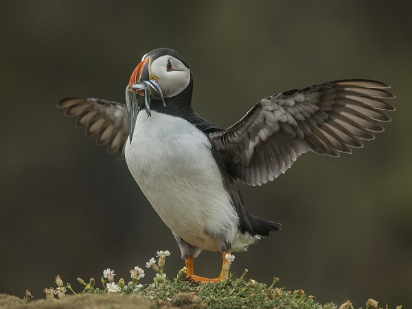 Atlantic Puffin by Jamie_MacArthur