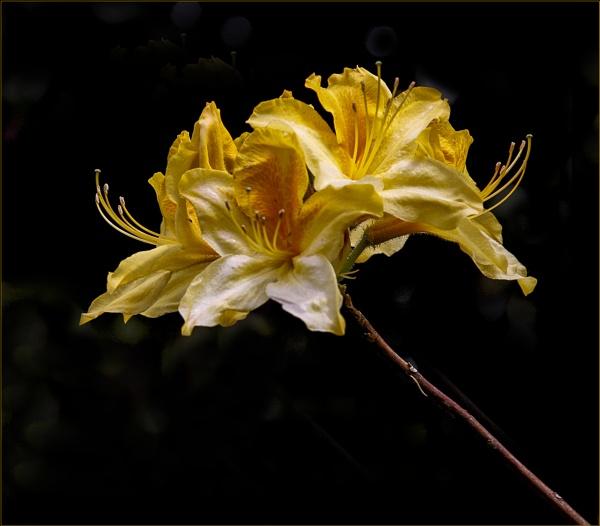Yellow Azalea by fentiger