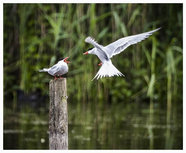 Feeding Tern  by DJSpiderpig
