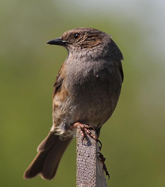 Mature Dunnock (Hedge Sparrow) by peterkin