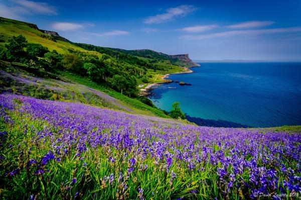 Bluebells at Murlough Bay by DavidLaverty
