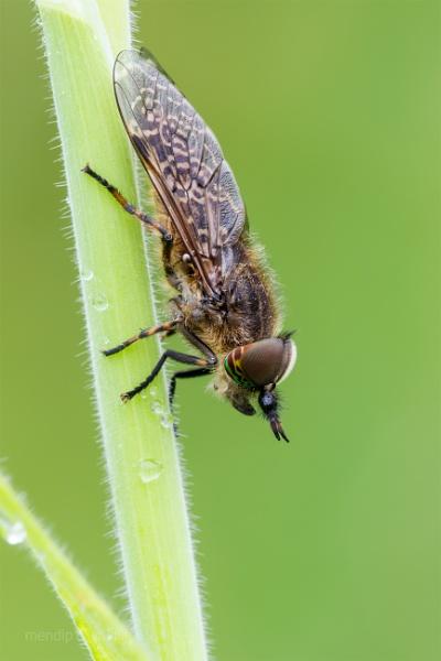 Cleg Fly - Haematopota pluvialis by Mendipman