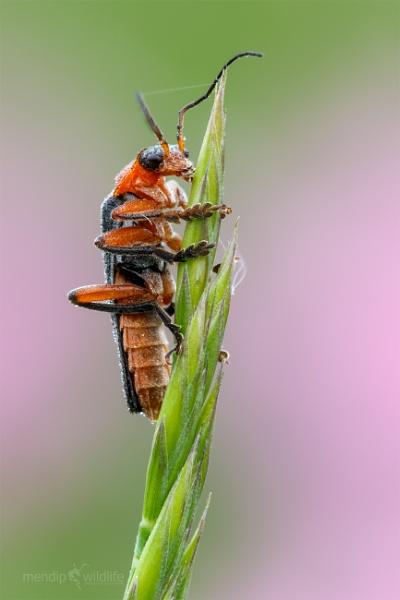 Soldier Beetle - Cantharis pellucida by Mendipman
