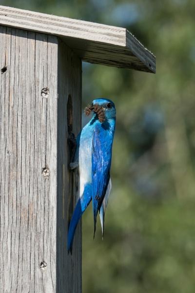 Mountain Bluebird (m) by StrayCat