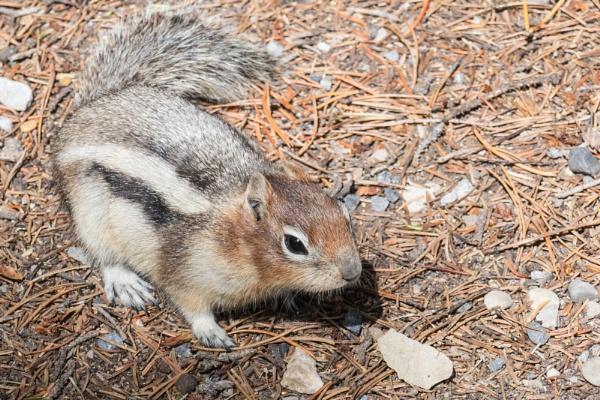 Golden-Mantled Squirrel by StrayCat