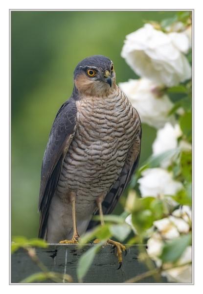Sparrowhawk (Accipiter nisus) by Cynog