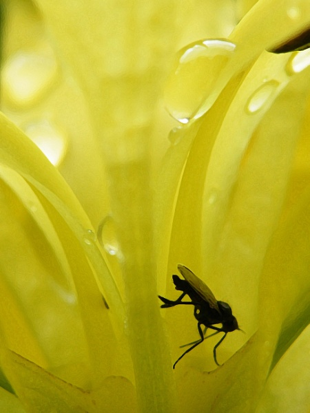 Yellow Flag Iris fly sheltering from the rain by Mototaur