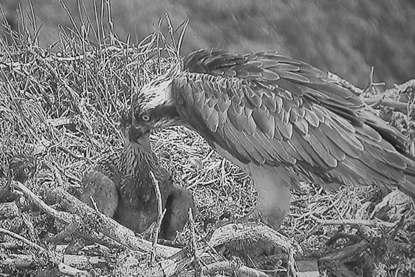 Loch Garten Osprey by Ted447