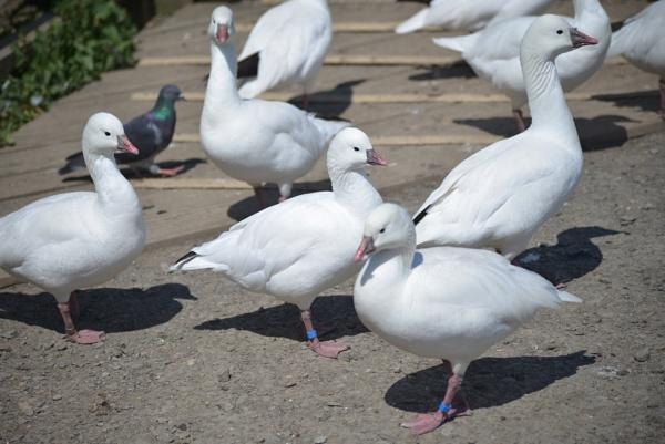 Lesser  Snow Geese by cdnikon