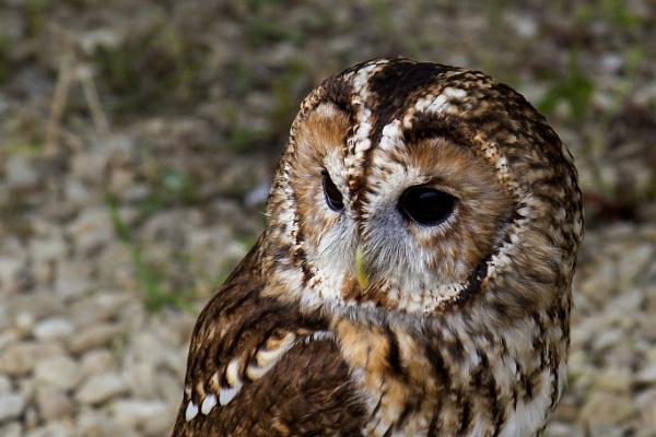 Tawny Owl by Paulbee
