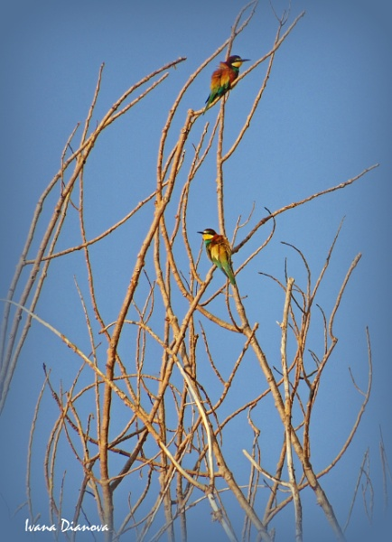 Bee-eater (Merops apiaster) by idiabb
