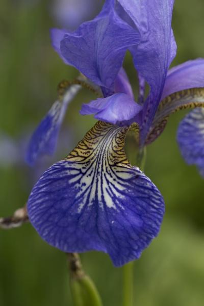 Purple Iris by CanonRebecca22