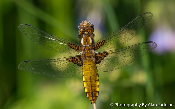Female Broad Bodied Chaser Dragonfly by alanj49