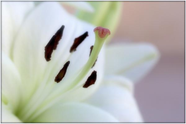 Pistil of flower by abuanas