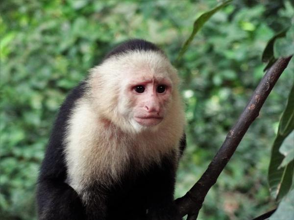 white capuchin monkey by markwelshlead