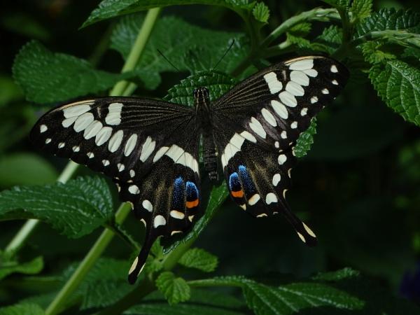 multicolored butterfly by bwarnke