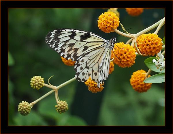 White Monark by Mavis