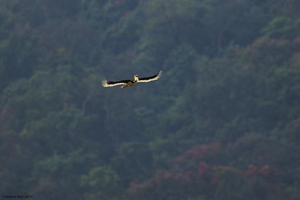 Malabar Pied Hornbill by subashcr