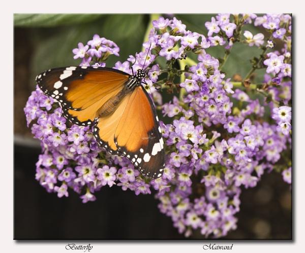 Butterfly  (danaus chrysippus) by Maiwand