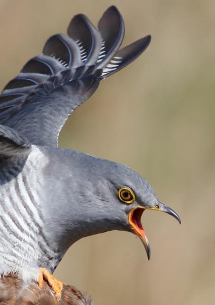 Cuckoo by NeilSchofield