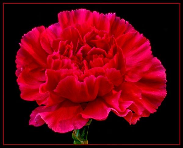 Red Carnation by Stuart463