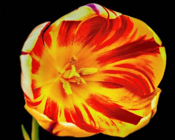 Tulip2 by Stuart463