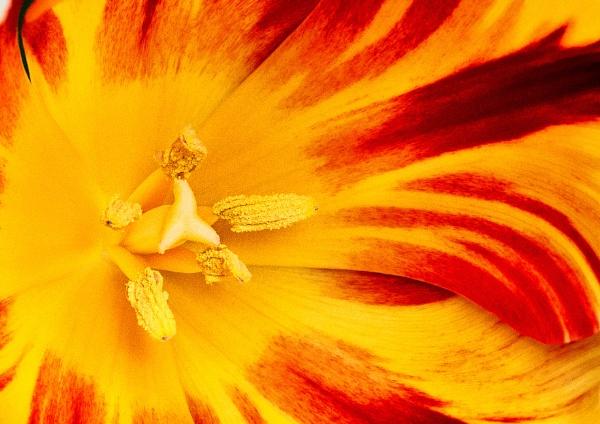 Tulip Crop by Stuart463
