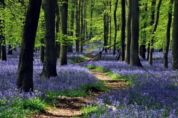 Ashridge Bluebells by peterthowe