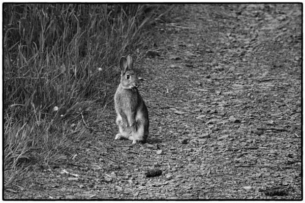 "\""Rabbit\"" by Willmer"