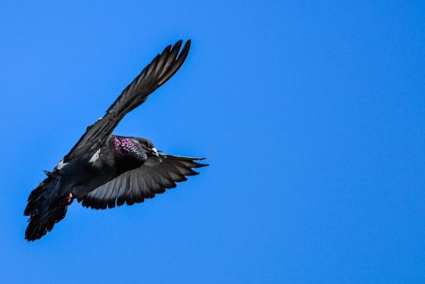 Pigeon by gerryg