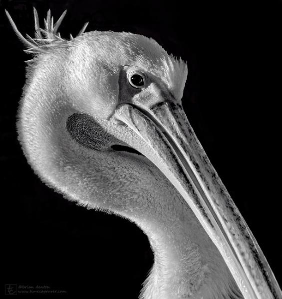 Pelican Preening by timecapturer