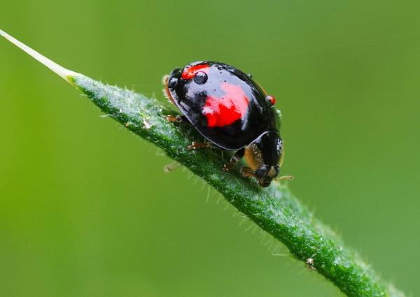 2-Spot Ladybird quadrimaculata by Beanie76