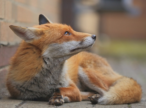 Urban red fox by tamasalucy