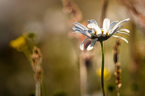 Fading Daisy by gowebgo