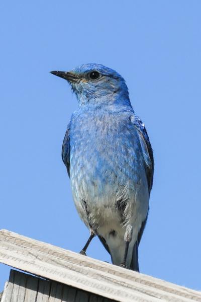 Mountain Bluebird by StrayCat