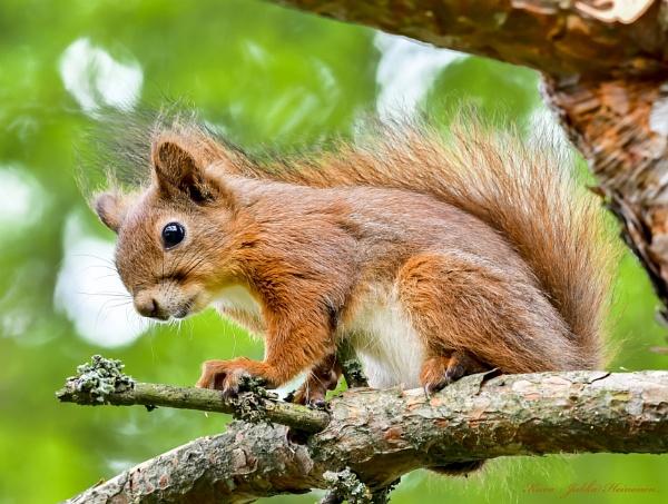 Squirrel and Midsummer bonfire. by Jukka
