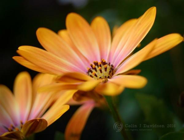 Cape Daisy by colijohn