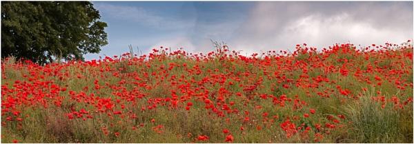Poppy Field 2 by capto