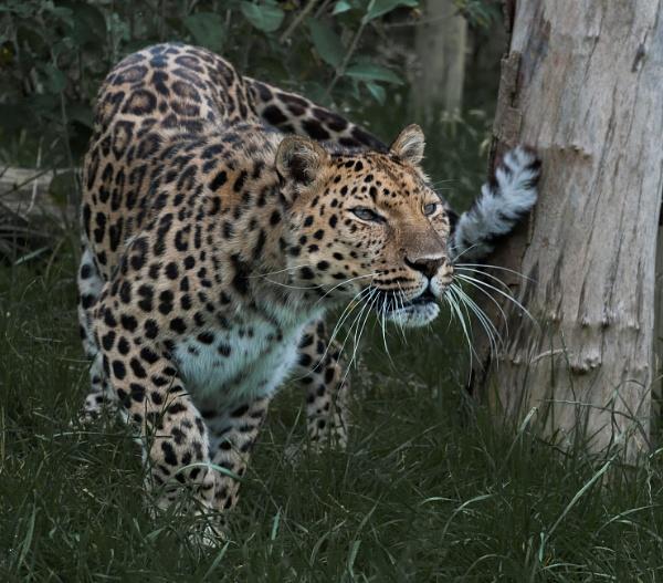 Amur Leopard by 10delboy