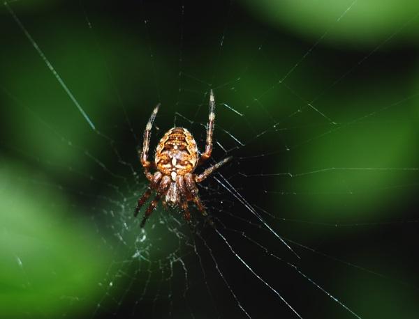 Cross Spider & Web by DaveRyder