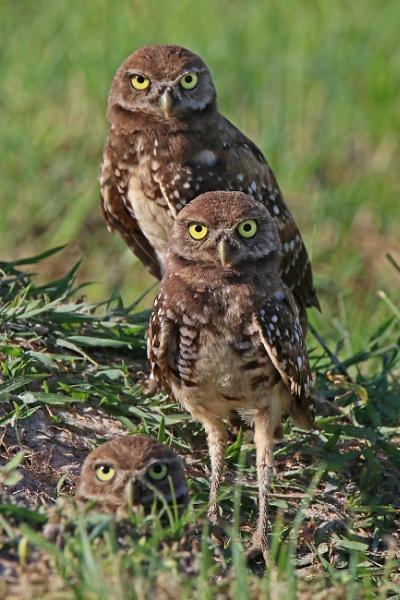 Burrowing Owls by BHSDallas