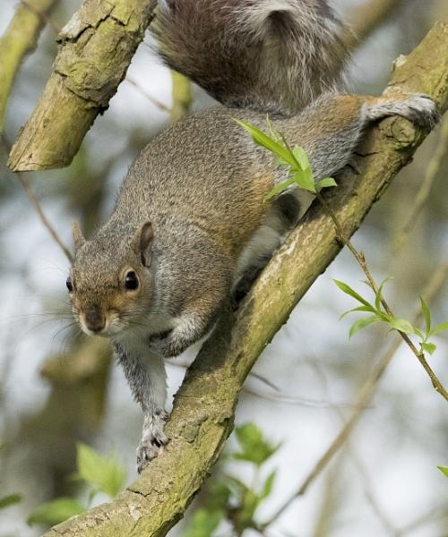 Baby Squirrel by chensuriashi