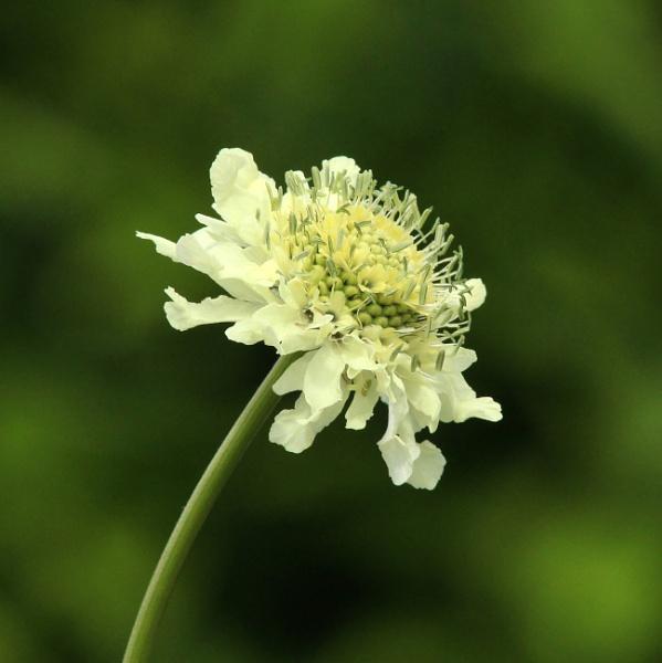 Cephalaria gigantea by oldgreyheron