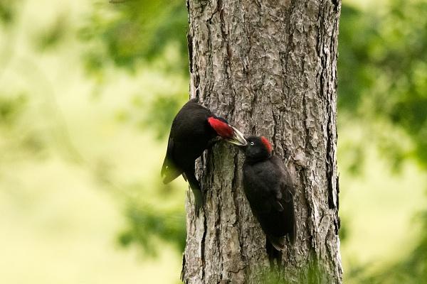 feeding black woodpecker by olafo