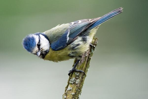 Blue Tit by chris61