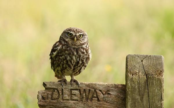 Little Owl by Len1950