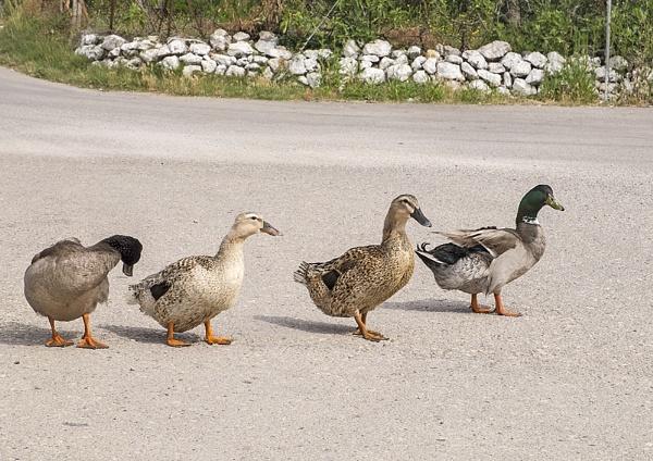 Ducks. by iancrowson