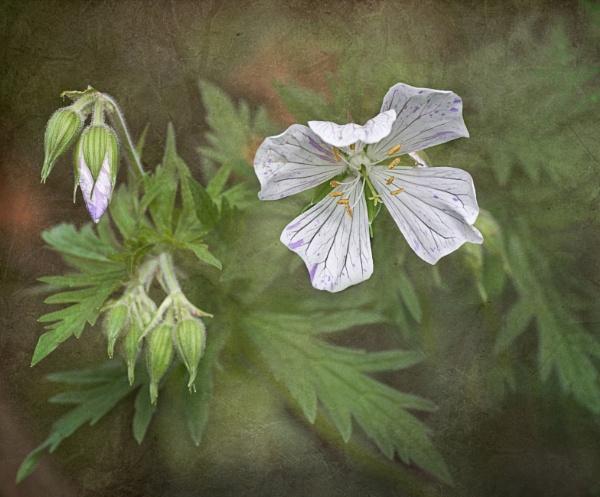 Geranium by CaroleS