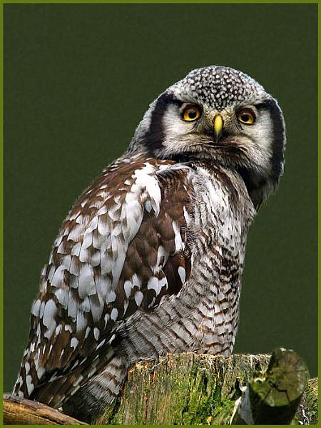 Northern Hawk Owl by fificat100