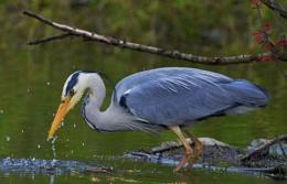 Grey Heron -Fishing